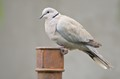 Eurasian collared dove on a fence