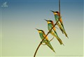 Bee Eater I