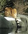 tiger tush