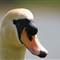 Swan Face 2