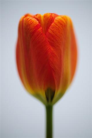 Tulip @ f2