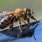 Honey Bee-022306
