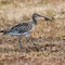 Curlew IMG_1346