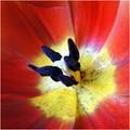 Tulip pollen