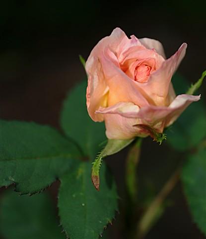 rose_cropped_2