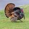 Turkey on my Lawn