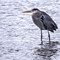 Great Blue Heron out in the rain