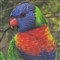 Rainbow Lorikeet in HDR