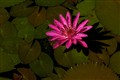 lotus blossom in Cairns