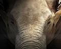 olifant face