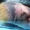 Walrus Closeup
