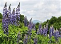 New Hampshire Mountain Lupine