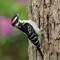 Hairy Woodpecker (m) 1 Origwk1_MG_2869