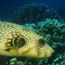 whitespotted puffer fish_0001