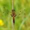 libellula_quadrimaculata