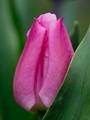 Curvy Shy Tulip