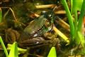 Green Frog,  DSC05982