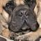 Bullmastif portrait