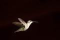 Female Ruby Throad in flight