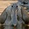 immature spot billed pelican
