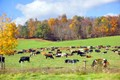 Cows in Fall foliage