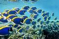 Shoal-of-powderblue-surgeonfish