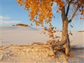 Autumn cottonwood in White Sands National Monument