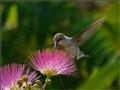 Hummingbird at Mimosa Tree Blossom