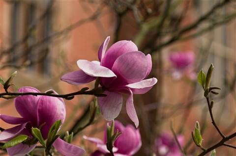 Pink Magnolia grandiflora.