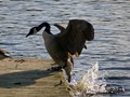 Canadian goose jumping out of the water at Wells Mills Park, NJ.
