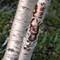 Rare birch