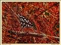 Butterfly In Cedar