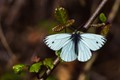 Margined White on Poison Oak