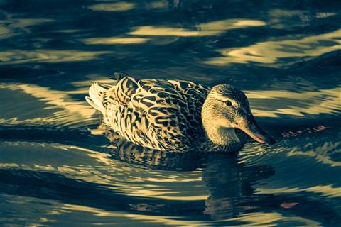 Duck-070