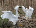 Two snowy egrets fighting