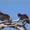 CR vultures_4