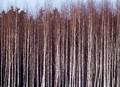 Winter birch forest in Finland.