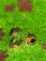 FrogEyes