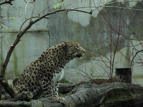 panther09
