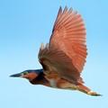 Rufus Night Heron