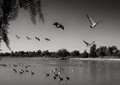 It was worth the wait for these geese to finally take flight. Color was actually a distraction, but I love B&W anyway.