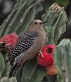 gila cactus3 dp