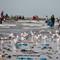Seagulls2(Gambia)