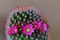 kaktusblüte1