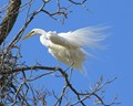 Egret - Flowing Feathers