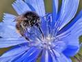 Wild Pollinator