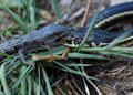 Alligator Lizard holding mouth closed of Garter / Ribbon snake. To let go, means being eaten.