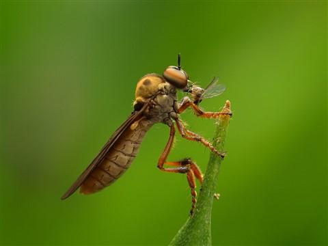 Robberfly (Holcocephala) 7 wk1 P7283449
