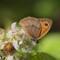 RawTherapee 100% (meadow brown butterfly)