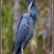 Little Blue Heron 6